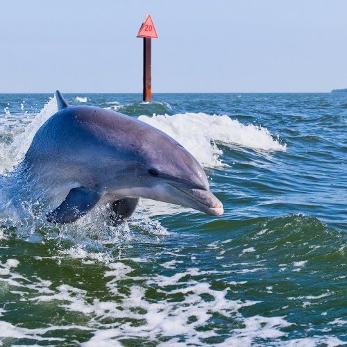 Dolphin following behind a boat.