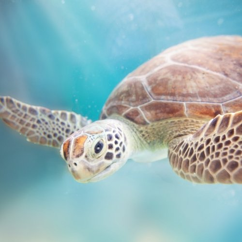 Underwater shot of sea turtle swimming.