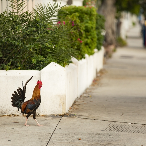 Free range rooster walks on sidewalk outside of resort.
